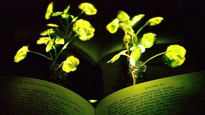 MIT developed natural bioluminescent plants